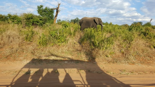 One of Chobe's 93,000 elephants