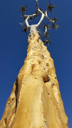 Quiver tree with a base of gold